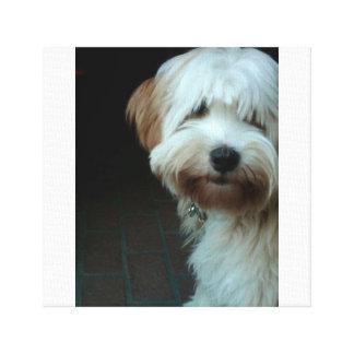 Toile terrier tibétain 2