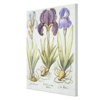 Toile Trois variétés d'iris imberbes de Rhizomatous