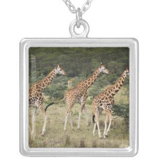 Trio des girafes de Rothschild, lac Nakuru Collier