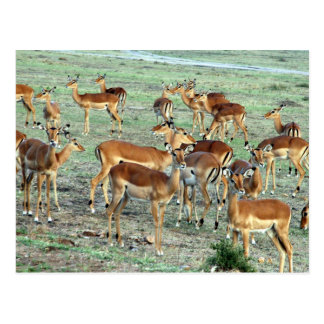 troupeau de gazelle de concession carte postale