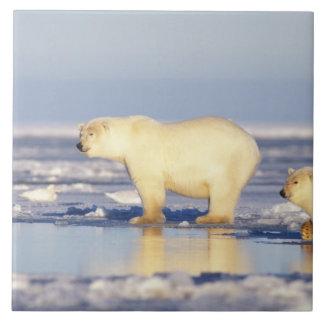 Truie d'ours blanc avec l'petit animal, banquise,  grand carreau carré