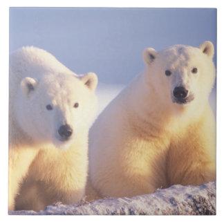 Truie d'ours blanc avec l'petit animal sur la banq grand carreau carré