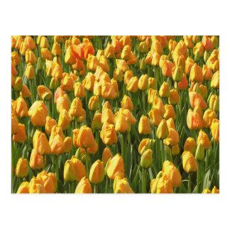 Tulipes oranges carte postale