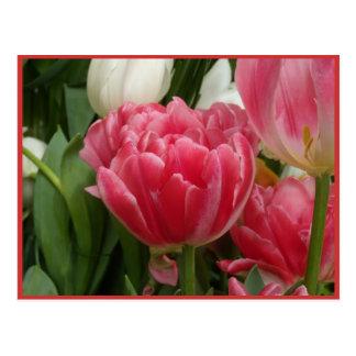Tulipes roses attrayantes carte postale