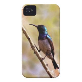 Un colibri pourpre étui iPhone 4