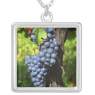 Un groupe de merlot mûr de raisins sur une vigne collier