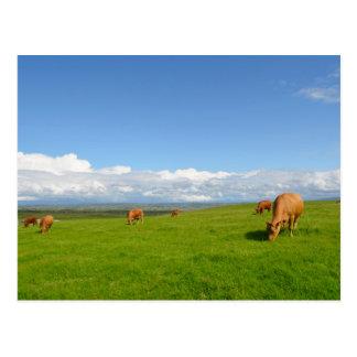 Vaches frôlant dans un pré en carte postale de