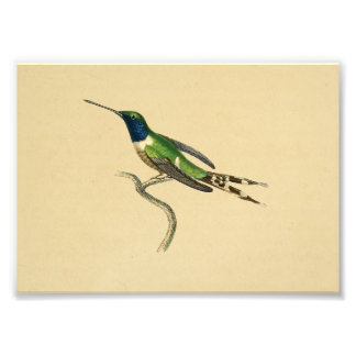 Vert 1830 bleu d'impression de colibri de cru impressions photo