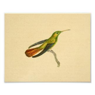 Vert 1830 rouge d'impression de colibri de cru photographes