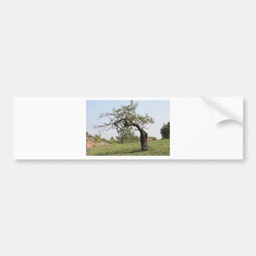Vieil arbre en Italie Autocollants Pour Voiture