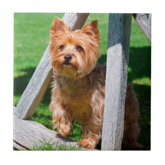 Yorkshire Terrier se tenant dans des roues Carreau