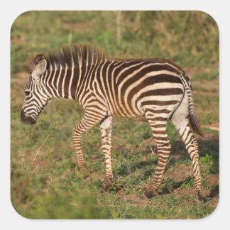 Zèbre de bébé marchant, Afrique du Sud Sticker Carré