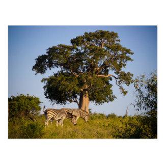 Zèbres, Botswana, Afrique, carte postale